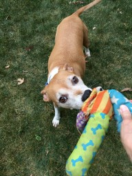 Java loves playing tug o' war!